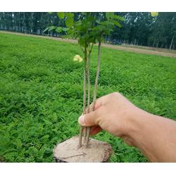 紫林种植厂家直销-紫穗槐小苗多少-太原紫穗槐小苗