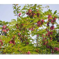 紫林种植品种出众 刺槐种子的-阳泉刺槐图片