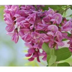 紫林种植品种出众 15公分刺槐-渭南刺槐图片