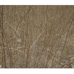 2-4-5公分刺槐-刺槐-紫林种植品种出众(查看)图片