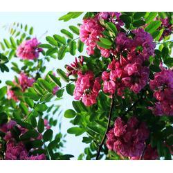 紫林種植量大從優 8公分刺槐苗-湖南刺槐圖片