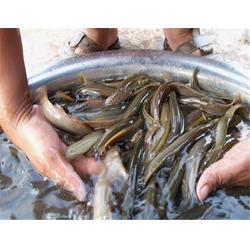 百鑫瑞农业科技(图),泥鳅养殖技术,东西湖泥鳅