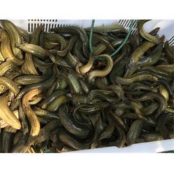 百鑫瑞科技(图),湖北泥鳅养殖技术,泥鳅图片