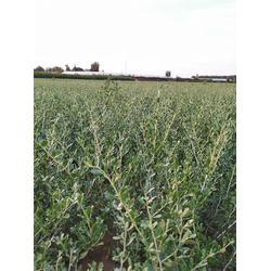 自产自ㄨ销白刺♀ 一年果然是有�Q�嗌�白刺树苗20-60公�分白刺酸胖苗木图片