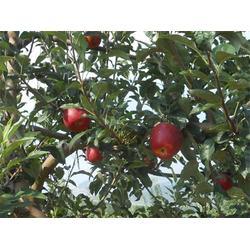 一年生鲁丽苹果苗、润耀园艺、一年生鲁丽苹果苗基地直销图片