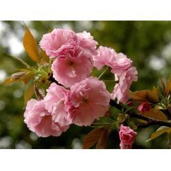 10公分櫻花樹苗-10公分櫻花樹苗哪家好-潤耀園藝圖片