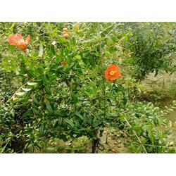 泰山红石榴苗生产基地-石榴苗-润耀园艺场图片