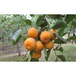 新次郎柿子苗种植基地-润耀园艺(在线咨询)江苏新次郎柿子苗图片