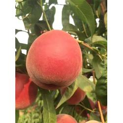 3公分玉妃桃苗种植基地-润耀园艺(在线咨询)3公分玉妃桃苗图片