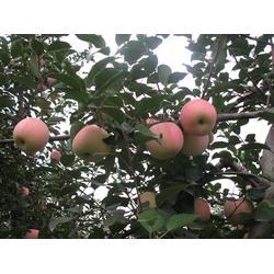 宁夏苹果树种植商户量大从优图片