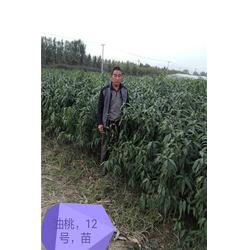 晚熟品种桃树苗产品介绍图片