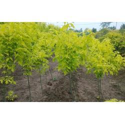 金叶复叶槭种植基地大量供应金叶复叶槭树苗图片