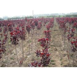 紅櫨種植基地大量供應紅櫨樹苗圖片