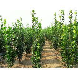 黄杨种植基地大量供应树苗图片