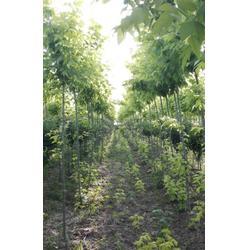 金葉復葉槭種植基地大量供應樹苗圖片