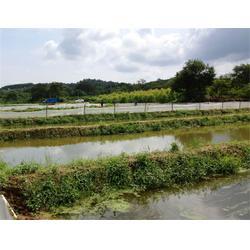泥鳅怎么养殖_安徽泥鳅_ 武汉鑫渔圣生态农业图片