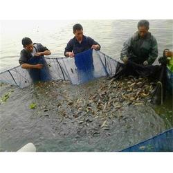襄阳泥鳅-泥鳅-鑫渔圣生态图片