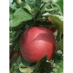 徐州鲁丽苹果苗-超顺苗木-鲁丽苹果苗电话图片