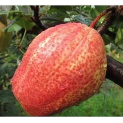 超顺苗木(图)-早酥红梨苗早熟-台州早酥红梨苗图片