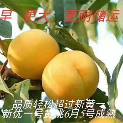 超顺苗木(图)-特早熟黄桃树苗价值-台州特早熟黄桃树苗图片