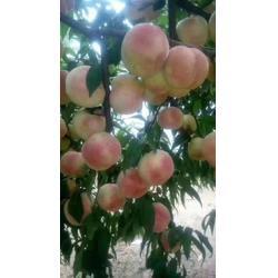 冬雪桃树苗-超顺苗木(在线咨询)-齐齐哈尔冬雪桃树苗图片