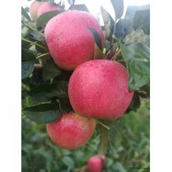 鲁丽苹果苗报价-超顺苗木(在线咨询)-石家庄鲁丽苹果苗图片