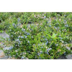 蓝莓苗-超顺苗木(在线咨询)赤峰蓝莓苗图片