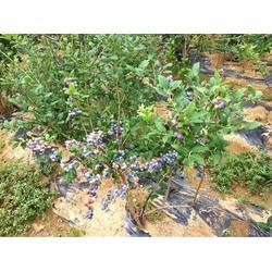 超顺苗木 蓝莓苗-台湾蓝莓苗图片