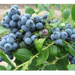 供应蓝莓苗-日照蓝莓苗-超顺苗木(查看)图片