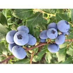 南通蓝莓苗-超顺苗木-两年蓝莓苗图片
