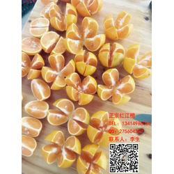 正宗紅江橙生產基地1圖片
