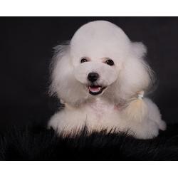 蚌埠宠物美容培训-安徽双银-宠物美容培训费用图片