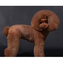 寵物美容多少-合肥寵物美容-安徽雙銀寵物美容培訓圖片