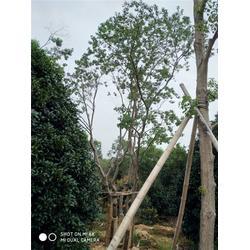 芜湖天艺园林苗木农场 苗木种植基地-山东苗木图片