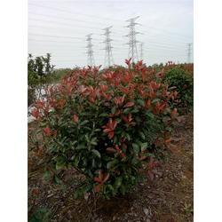 出售红叶石楠苗木-芜湖天艺-河南红叶石楠苗木图片