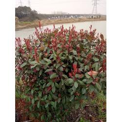 芜湖天艺(图)-红叶石楠苗-山东红叶石楠图片