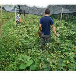 茂林农业-昆明重楼-重楼种子图片