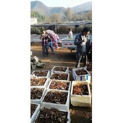 茂林农业|文山重楼种苗|云南重楼