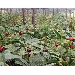 茂林農業|云南滇重樓|重樓種苗圖片