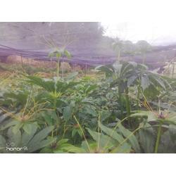 云南-茂林农业-昆明重楼-云南重楼