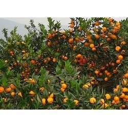 大量柑橘树苗图片