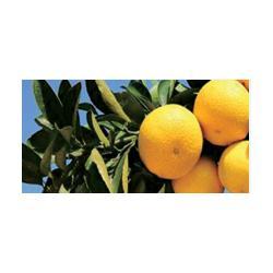 大棚皇帝柑树苗多少一棵的图片
