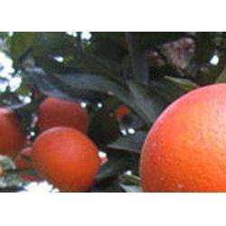 哪个血橙树苗基地比较好
