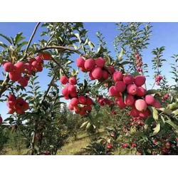 锦州苹果苗-大连优良苹果苗供应图片