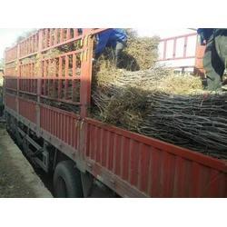 七台河枣树苗-品种好的枣树苗出售
