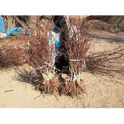棗樹苗-供應遼寧成活率高的棗樹苗圖片