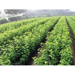 伊春树莓苗厂家-品种好的树莓苗哪里买图片