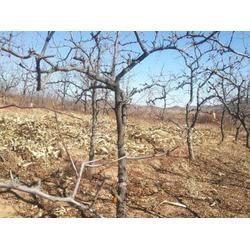 阜新枣树苗厂家-想要优惠的枣树苗就来双塔区徐玉新图片
