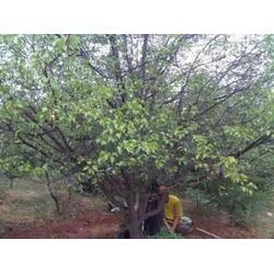 阜新杏樹苗-供應遼寧銷量佳的杏樹苗圖片