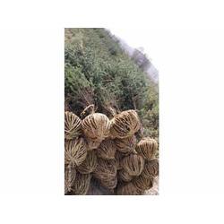 定西云杉基地-供应甘肃有品质的西北树苗图片
